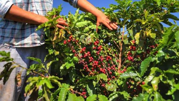 Boletim agropecuário aponta retração de 9% na produção de café e valorização no preço