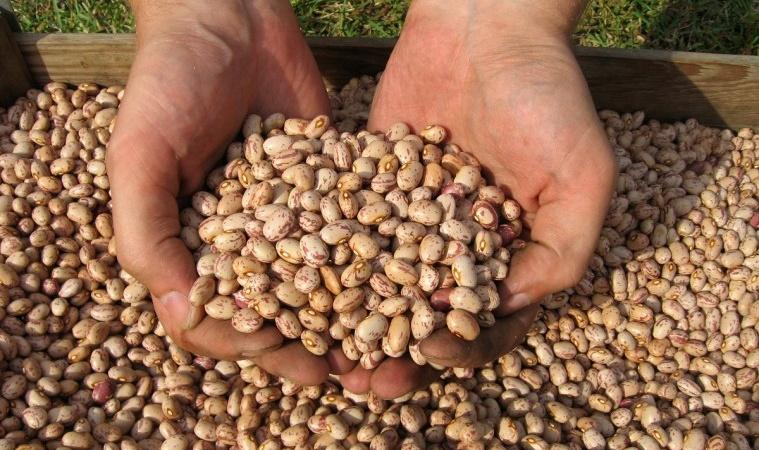 Colheita do feijão chega a 82% no Paraná